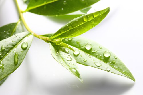 An introduction to tea tree essential oil