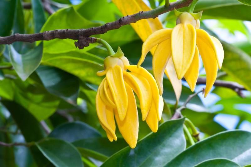 Ylang ylang flowers on tree