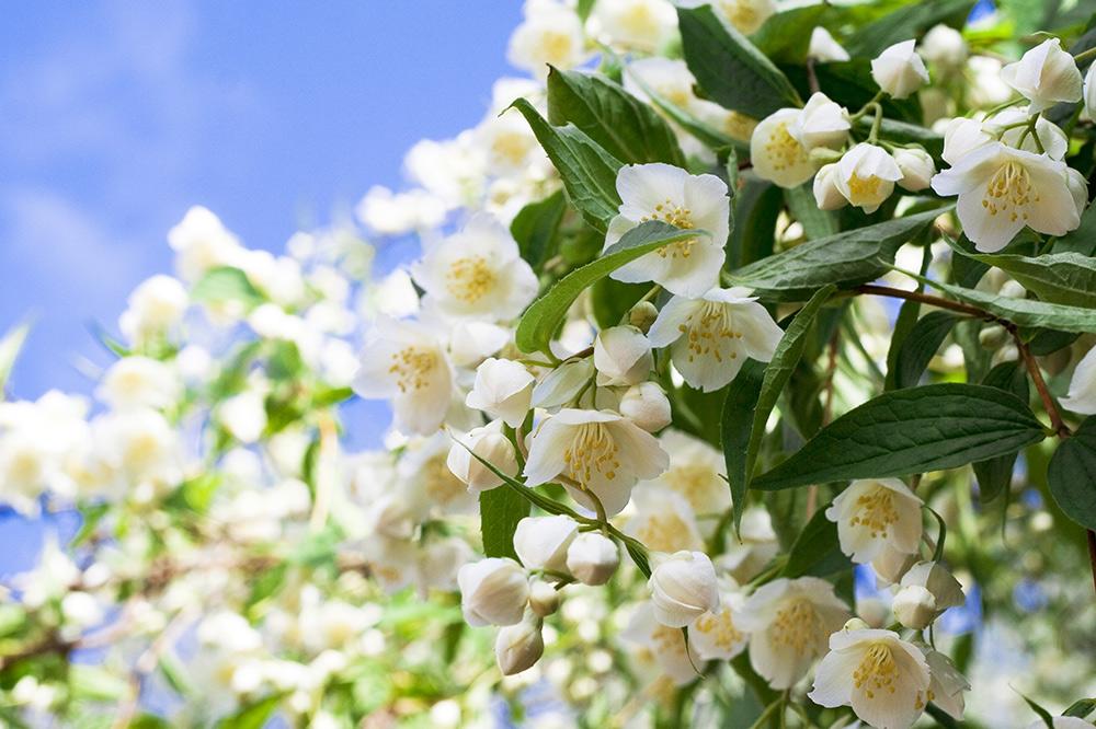 jasmine flowers to promote peace